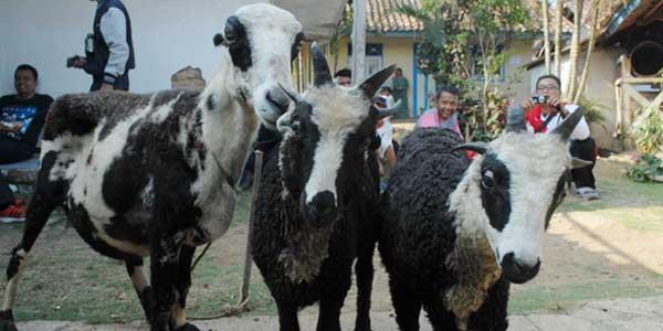 Warga Sukabumi Ternak Domba Bertanduk Banyak Ferd