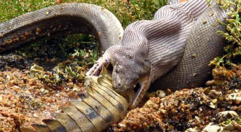 Foto ular sawah terbesar di dunia 7