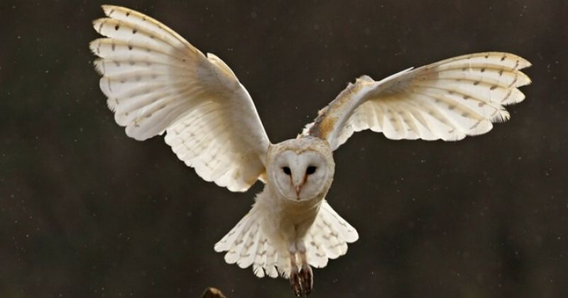 Alasan Burung Hantu Terbang Lebih Senyap   ♔Ferd