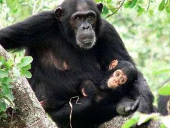 052916 Simpanse Ini Gelar Ritual Sakral, Bikin Ilmuwan Takjub