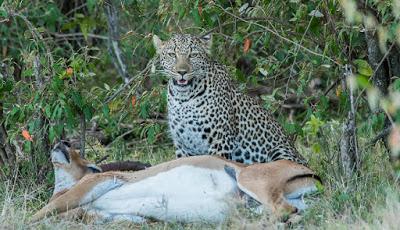 gigitan-cinta-macan-tutul-lumpuhkan-rusa-impala2