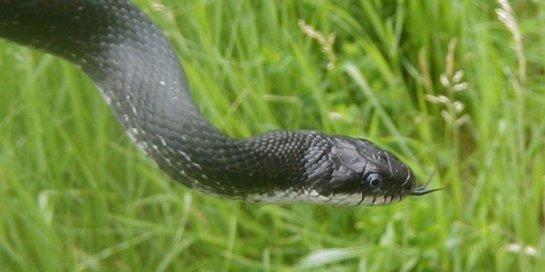 5 ular-tikus-rev1