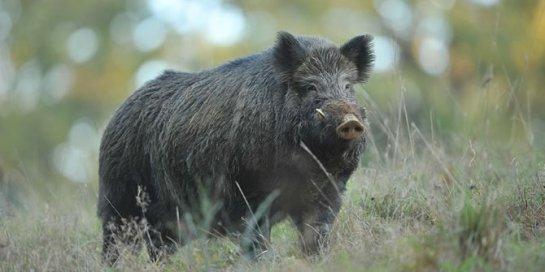 6 babi-hutan-rev1
