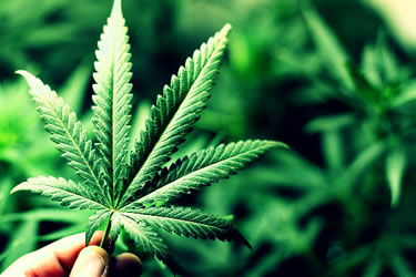DEA Dukung Riset Lanjutan terhadap Manfaat Medical Marijuana