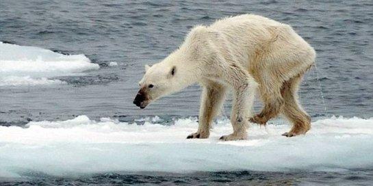 Ini foto beruang salju paling menyedihkan di dunia