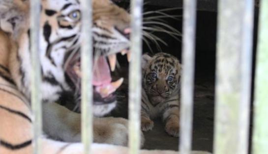 Polisi Selidiki Insiden Harimau Terkam Bocah di Jatim Park 2